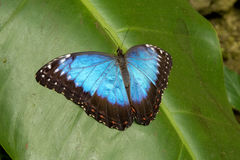 View of the exotic butterfly on a leaf Royalty Free Stock Photo