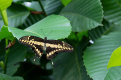 View of the exotic butterfly on a leaf Stock Image