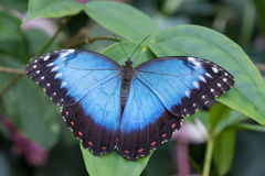 View of the exotic butterfly on a leaf Royalty Free Stock Image