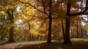 View of fall trees in yellow colors. With the sun shinning trough stock video footage