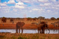 View of a family of elephants and zebras. Water pond in the Tsavo National Park in Kenya, Africa. Blue sky and red sand stock image