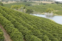 Farm coffee plantation in Brazil royalty free stock images
