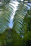 View Through Ferns, Kauai Royalty Free Stock Image