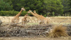 View of a few elegant giraffes. View of a few elegant giraffes gossiping on other animals from the green forest Royalty Free Stock Photos