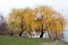 View of a few weeping willows with yellow leaves Royalty Free Stock Image