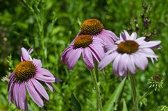 A close up of some sad purple flowers in a meadow. A view of a few wild purple sad hanging flowers in the park meadow on a summer day royalty free stock photos