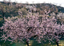 View of a Field of Almond Trees Royalty Free Stock Image