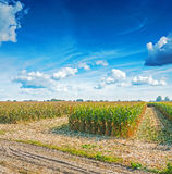 View on field of corn before harvesting Royalty Free Stock Image