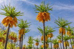 View of a field of imperial crown plant latin name -Fritillaria imperialis sulpherino, some flowers are still in the bud others ar. E already starting to come Royalty Free Stock Image