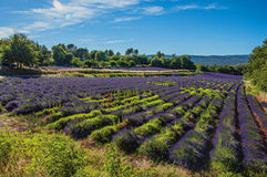 View of field of lavender flowers under sunny sky, near the village of Roussillon. Located in the Vaucluse department, Provence region, in southeastern France Stock Image