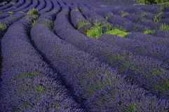 View of field of lavender flowers under sunny sky, near the village of Roussillon. Located in the Vaucluse department, Provence region, in southeastern France Stock Photos