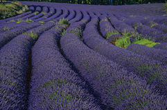 View of field of lavender flowers under sunny sky, near the village of Roussillon. Located in the Vaucluse department, Provence region, in southeastern France Stock Images