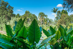 The view on the field with palm trees trough colocasias leaves. In Brisbane Botanical Garden, Australia Royalty Free Stock Photo