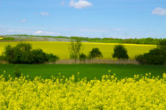 View of a field of rapeseed and meadow under a blue sky Royalty Free Stock Photo