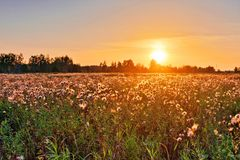 Field thistle in sunset light Royalty Free Stock Photo