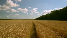 Countryside in summer season. View of the field with wheat. sunny day white clouds on blue sky stock video