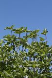 Fig tree and blue sky Royalty Free Stock Images