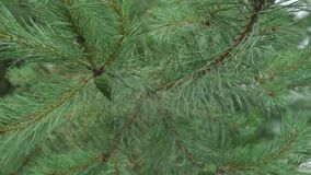 View of fir tree branches moving and drop of water fall down. Close up view of fir tree branches moving and drop of water fall down stock video footage