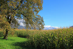 View at first snow on mountains, trees, field with corn Stock Photos