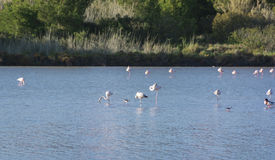 View of flamingos in Calpe, Spain Royalty Free Stock Photography