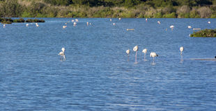 View of flamingos in Calpe, Spain Royalty Free Stock Images