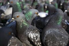 Flock of pigeons closeup. View of a flock of pigeons through the eyes of one of them; birds look in one direction, focus on the nearest pigeon royalty free stock photos
