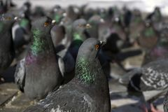 Flock of pigeons closeup. View of a flock of pigeons through the eyes of one of them; birds look in one direction, focus on the nearest pigeon stock image