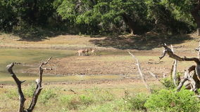The view of flora and fauna in Yala National Park, Sri Lanka. stock video footage