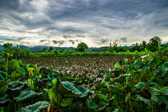 View flower lotus field Stock Images