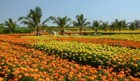 View of the flower fields in Mekong Delta, southern Vietnam Stock Images