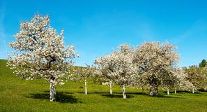 View of flowering cherry-trees Stock Images