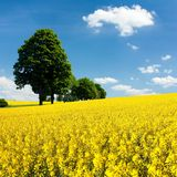 View of flowering field of rapeseed with trees Stock Photography