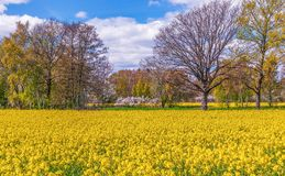 View of flowering rapeseed field in early May.Oland Island.Sweden royalty free stock photos