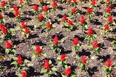 Flowerbed of small red flowers view from above royalty free stock photography