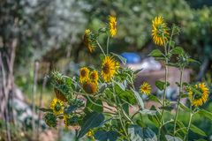View of flowering sunflowers, vivid yellow flowers royalty free stock photography