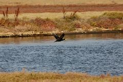 View of a flying cormorant in Evros river, Greece. Stock Photos