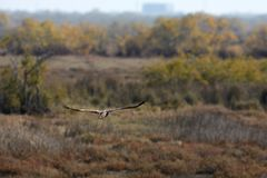 View of flying eagle in Evros river, Greece. Royalty Free Stock Photo