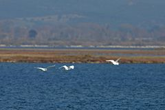 View of flying herons in Evros river, Greece. Royalty Free Stock Images