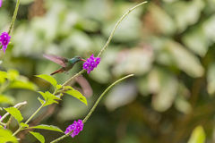 View of the Flying hummingbird Royalty Free Stock Photos