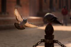 View of a flying pigeon with wings open. Royalty Free Stock Photos