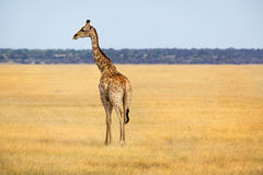 View to Giraffe Royalty Free Stock Images