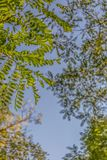 View of the foliage from the top of a tree, with sky as background.  royalty free stock photography
