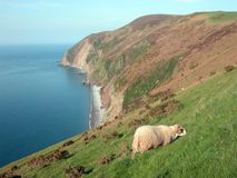 View of Foreland Point with sheep, North Devon Stock Images
