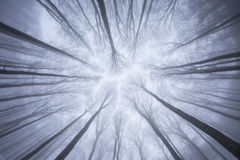 View of forest from below in winter time with fog Royalty Free Stock Image