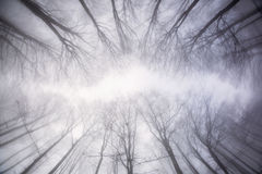 View the forest from below in winter time with fog and mystic at. Mosphere Royalty Free Stock Photo