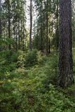 View of a forest in Finland Royalty Free Stock Photography