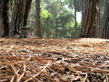 View from the forest floor. Landscape photo of a view from the floor of a pine forest royalty free stock image