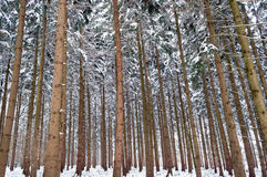 High trees in forest in winter Stock Image