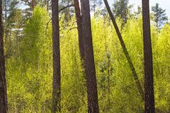View of forrest of birch and green pine trees on a sunny summer day with a bright blue sky. Birch grove on the border with Belarus and Russia. Located in Royalty Free Stock Images