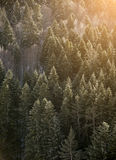 View of forrest of green pine trees Stock Photos